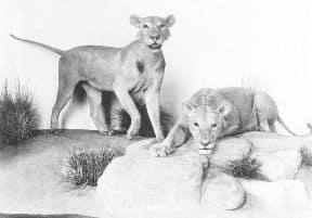 Tsave Lions Field Museum Exhibit