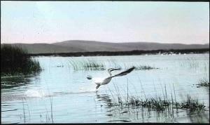 malheur national wildlife refuge pelican PD