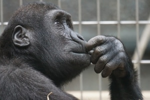 ape thinking PD