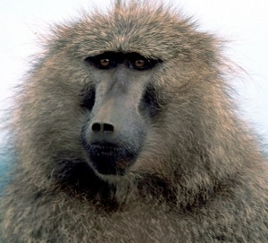 Olive Baboon PD